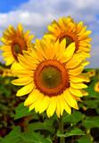 Fototapeta Beautiful sunflowers