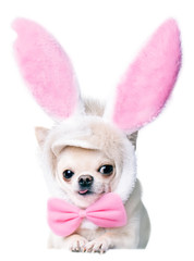 chihuahua wearing funny costume