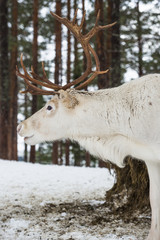 Reindeer standing in the snow