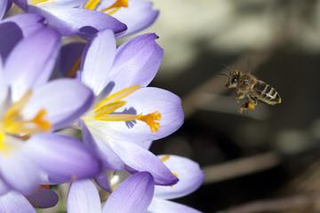 Krokus, Biene; Pollenhoeschen; Apis; mellifera;