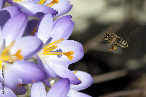 Fotobehang Krokus Krokus, Biene; Pollenhoeschen; Apis; mellifera;