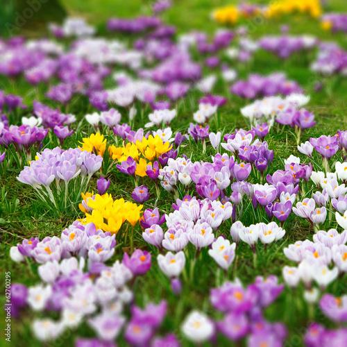 Fotobehang Krokus Wild crocus flowers