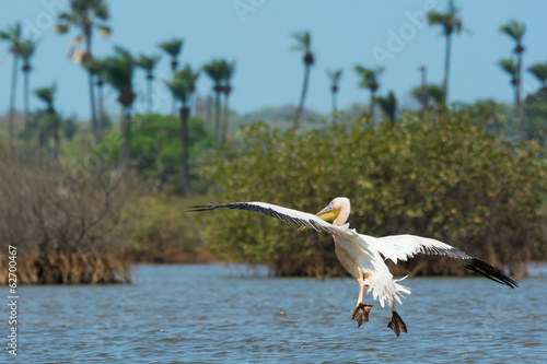 Great White Pelican coasting for a landing