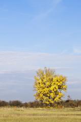 Sunny autumn yellow tree