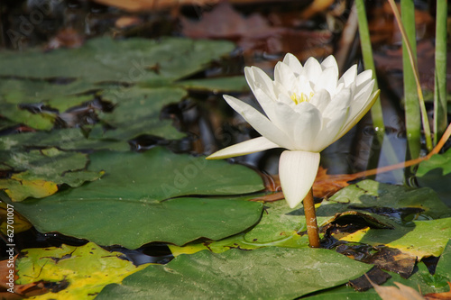 Waterlily aquatic flower (nymphaea alba)
