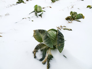 Unharvested cabbage field in the winter