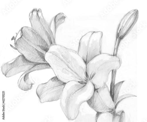 madonna lily © Olga Kleshchenko