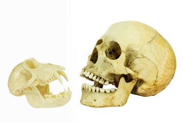 Human and monkey skull opposite of each other