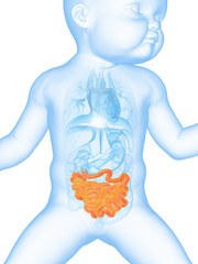 medical illustration showing the small intestine of a baby