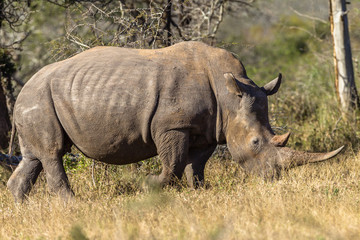 Rhino Bull Animal Wildlife