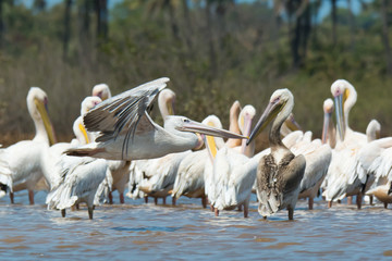 Pink-backed Pelican soars past a squadron of White-Backed Pelica