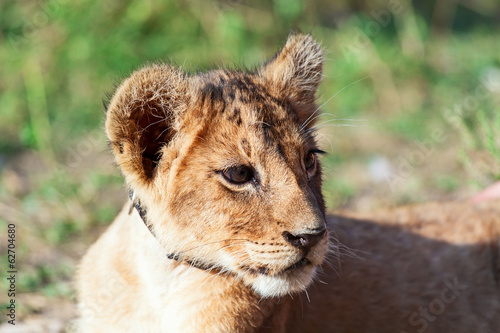 Baby lion animal close up head portrait