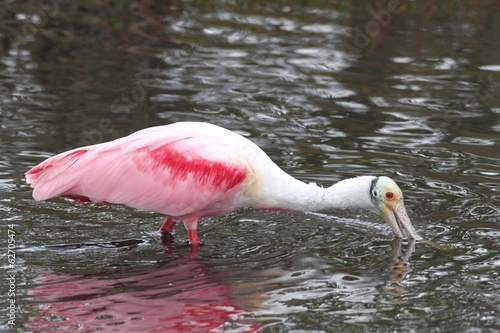 Roseate Spoonbill Hunting In Water
