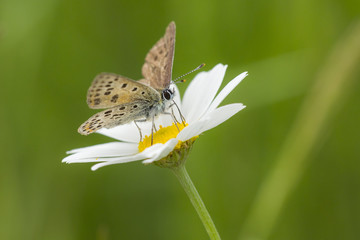 Sooty copper butterfly on a oxeye daisy