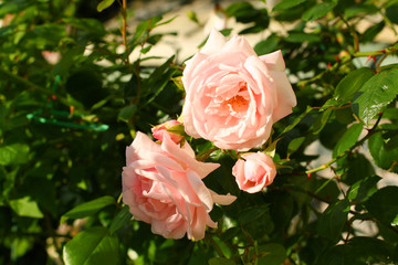 Beautiful, pink, climbing rose