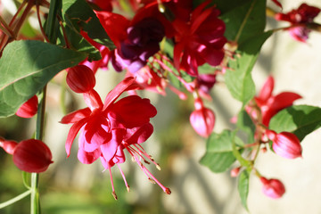 Beautiful fuchsia