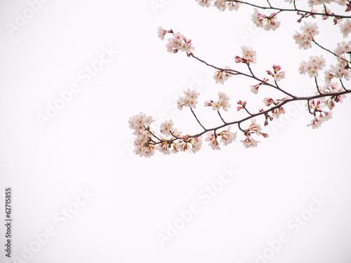 Papiers peints Cerises Yoshino cherry tree in full bloom in the sky back