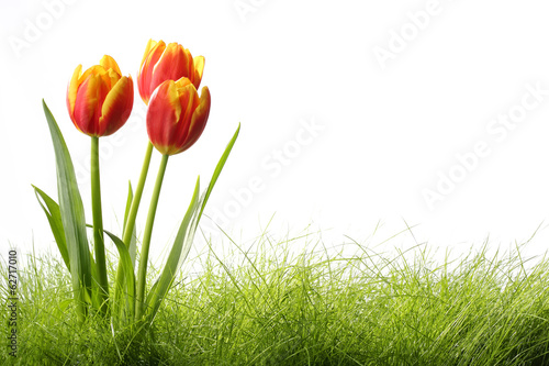 Tulips with grass