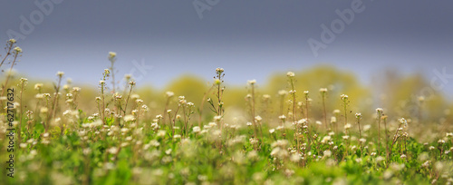 Beautiful rural field with alfalfa flowers, on a bright day