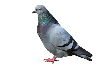 isolated male pigeon