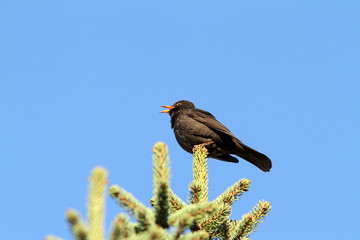 male turdus merula singing