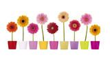 Bunte Gerbera Blumen in Übertöpfen