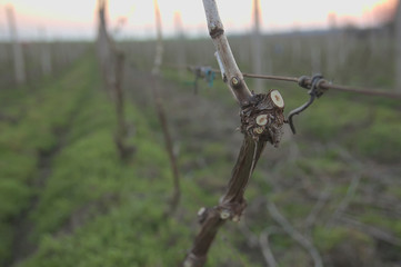 Vine in vineyard