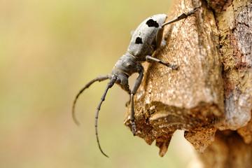 The Capricorn Beetle