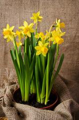pot of daffodils on  burlap