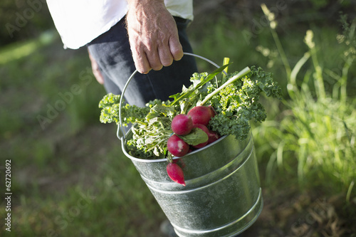Organic Farm. Summer Party. A Man Carrying A Metal Pail Of Harvested Salad Leaves, Herbs And Vegetables.