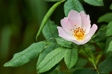 Rosa canina wildflower