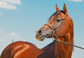 portrait  of beautiful bay  arabian stallion