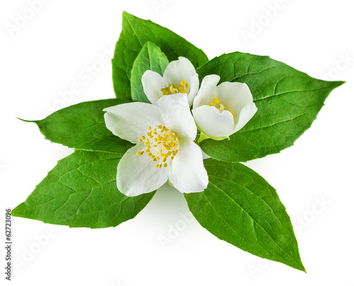 Jasmine flower with leaves on white background