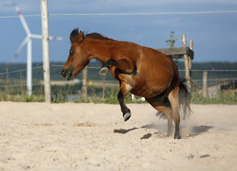 Deutschland, Baden Württemberg, Shetland-Pony im Sand