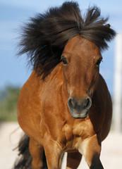 Deutschland, Baden Württemberg, Shetland-Pony galoppieren