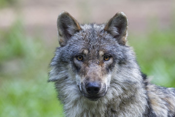 Deutschland, Bayern, Grauer Wolf im Wald