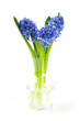 blue hyacinth in a glass vase isolated on white