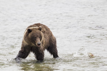 USA, Alasaka, Braunbär im Chilkoot See