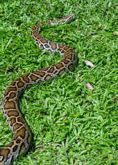 close up of a boa snake slithering  the grass