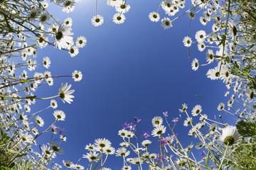Österreich, Kärnten, Margeriten Blumen
