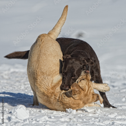 dogs while playing on the snow