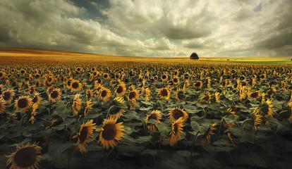 Deutschland, Blick auf Sonnenblumenfeld in der Nähe von Dresden