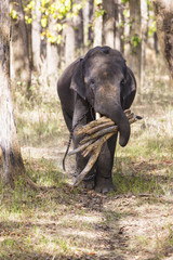 Indien, Madhya Pradesh, Asiatische Elefanten Buchholzin Kanha National Park
