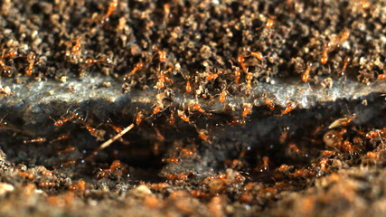 Group of red ants working on nest.