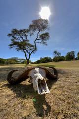 Afrika, Kenia, der Schädel des afrikanischen Büffel in der Masai Mara National Park