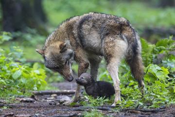 Deutschland, Bayern, Grauwolf mit ihrem Welpen