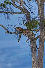 Afrika, Kenia, der Leopard ruht auf Baum in Masai Mara National Park