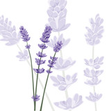 Fototapety Lavender on isolated background, vector