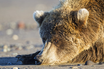 USA, Alaska, Brown bear at Lake Clark Nationalpark und Reservat