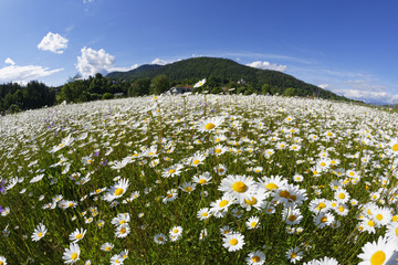Österreich, Kärnten, Margeriten Blumen in der Nähe Maria Saal